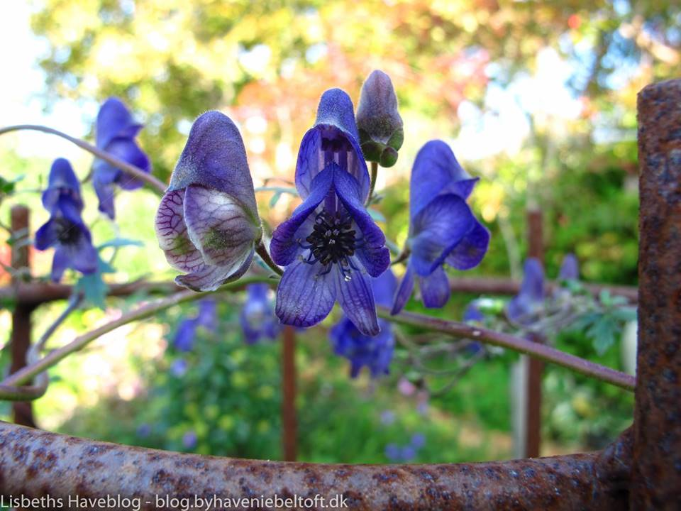Aconitum volubile med blå blomster i september-oktober