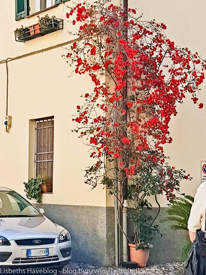 Bougainvillea i potte