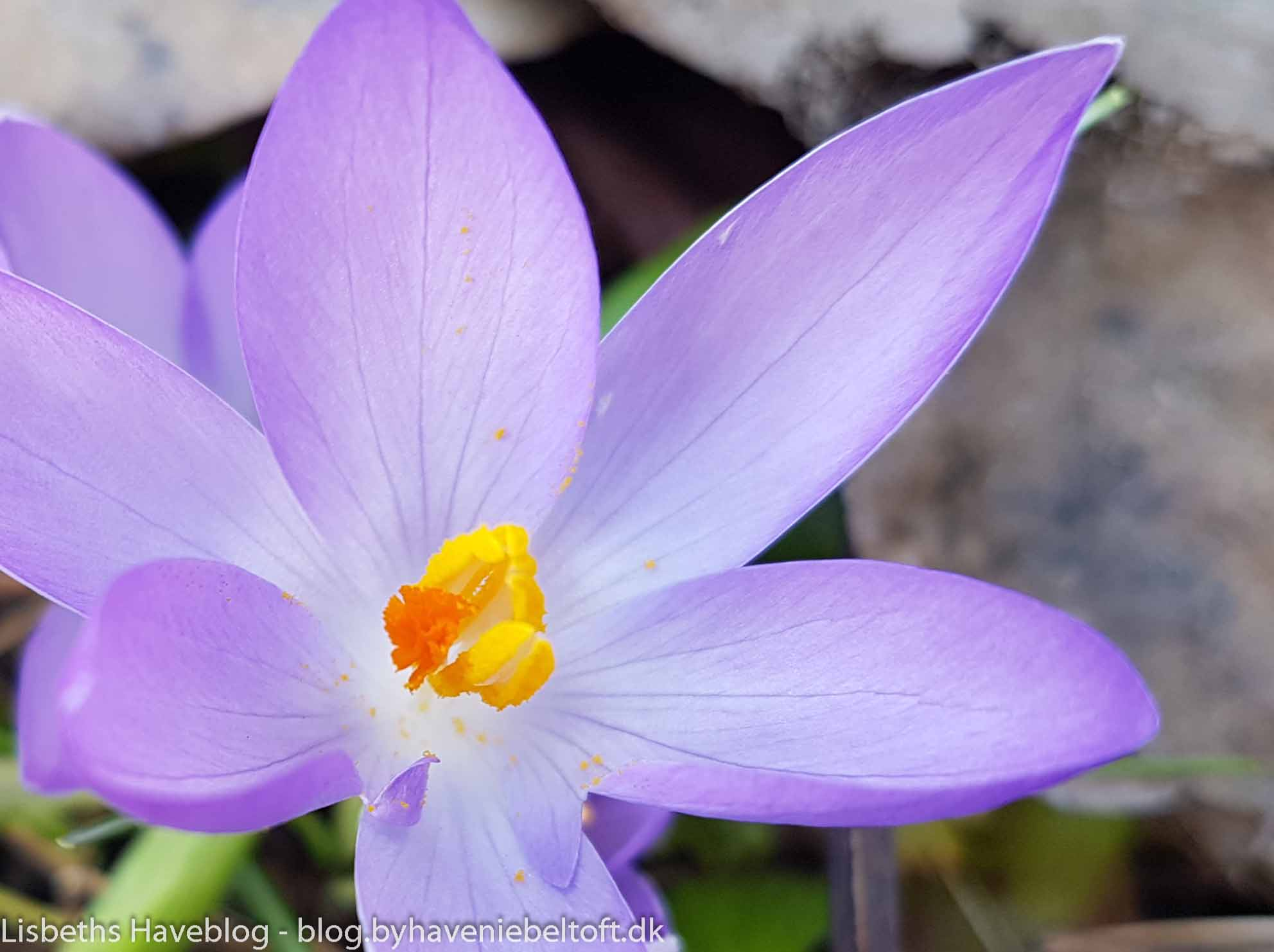 Crocus 'Lilac Beauty'