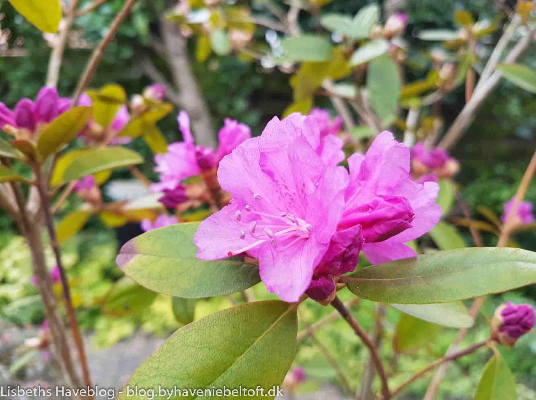 Rhododendron 'P.J.M. Regal'