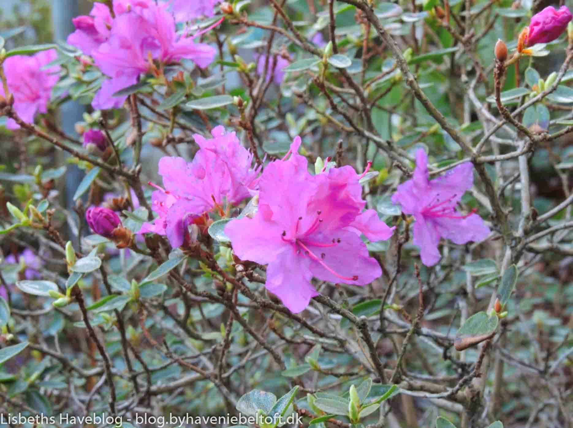 Rhododendron 'Pulap'