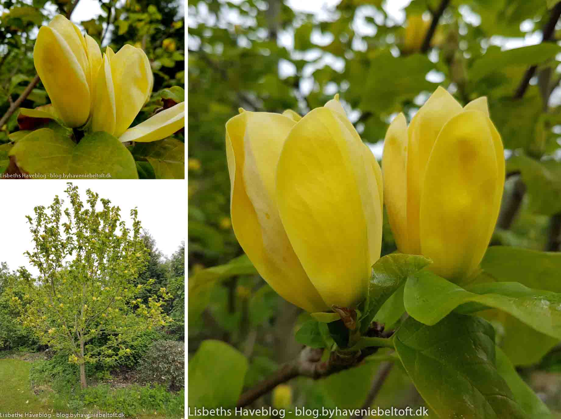 Magnolia 'Yellow Bird'.