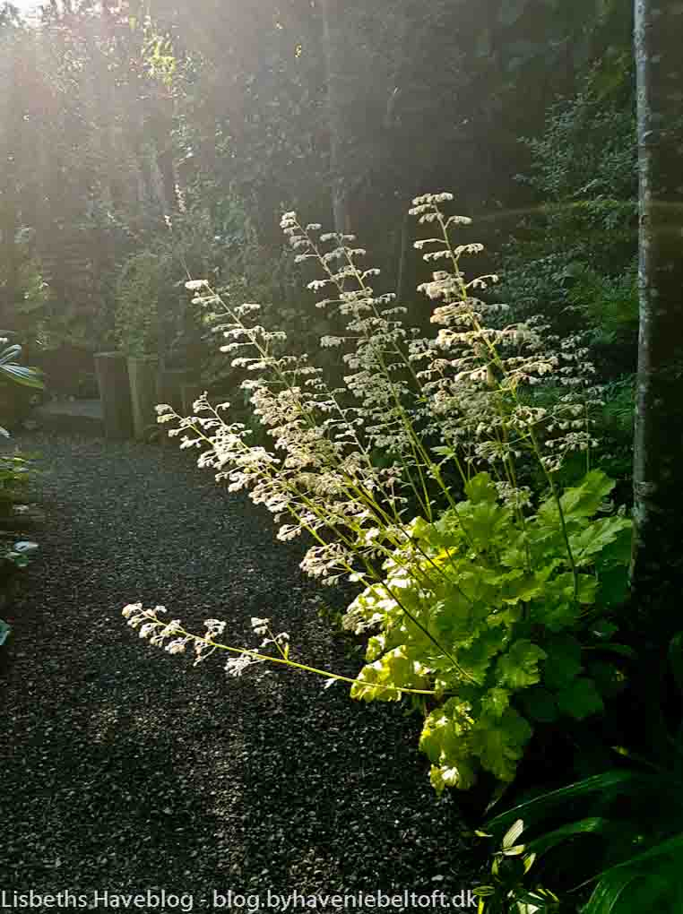 Heuchera 'Lime Rickey' an early morning