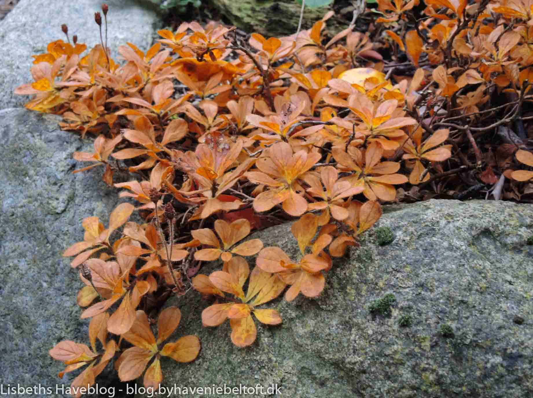 Autum leaves on Rhododendron 'Camtschaticum'