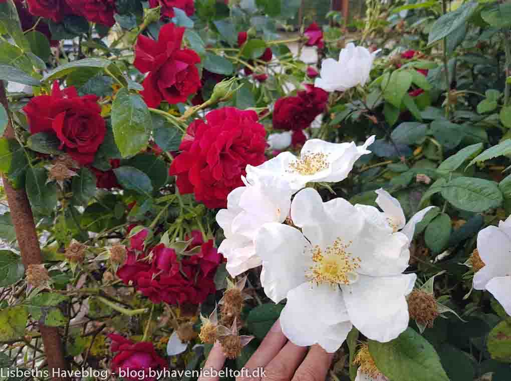 Red flowers on på Rosa 'Grand award' and white on Rosa 'Sancta'.