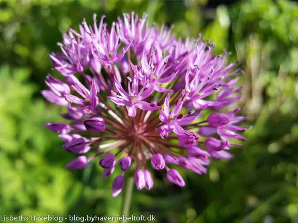 Prydløget Allium 'Purple Sensation'